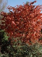 Körsbärsbenved, Euonymus planipes