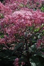 Detaljbild av rosenflockel-blommorna.