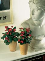 Kristi törnekrona, Euphorbia milii