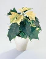 Julstjärna, Euphorbia pulcherrima