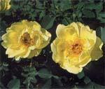 Favoriter bland rosor och ringblommor