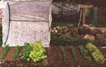 Använd fiberduk eller miniväxthus för att skydda växterna.