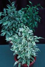 Benjaminfikus Ficus benjamina