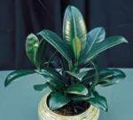 Fönsterfikus Ficus elastica