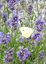 Fjärilar på lavendel
