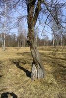 Träd överlever trots stora partier av död ved och bark. Det måste dock finnas en obruten väg av frisk bark för att transporten av vatten ska fungera.