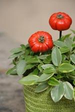 Fönsterpeperomia, Peperomia orba Pixie variegata