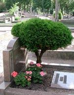 Formklippt Cypress