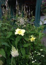 Förutom Hemerocallis 'Arctic Snow' och 'Double River Wye', finns här en svavelnejlika (Dianthus knappii), Astilbe arendsii ''White Gloria', vit skogsaster (A. divaricatus) och i bakgrunden en Bistorta amplexicaulis 'Album', vit blodormrot.