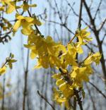 Hybridforsythia 'Freja', Forsythia x intermedia 'Freja' E