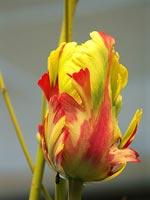 Fransk tulpan
