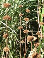 Frö, Phlomis tuberosa