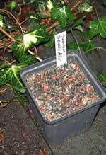 Ställ ut sådden i trädgården om den skall stratifieras. Glöm inte etikettera!