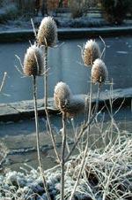 Av växter med dekorativa frökapslar kan man lämna kvar några för att bli till dekorativa inslag i rabatten, s.k. vinterståndare.