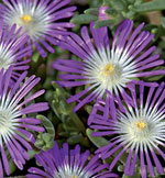 Vitögd frövisare, Delosperma floribundum 'Stardust'