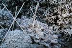 Så här vackra kan vintergröna växter vara med rimfrost på! Käpparna är för att kunna spänna solskyddsväv över växterna på vårvintern så att de inte får