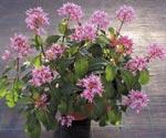 Fuchsia paniculata 'Cassiopeia'
