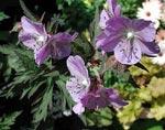 Geranium 'Purple Haze'