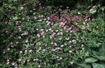 Geranium endressii, spansknäva