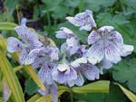 Geranium renardii har diskreta blommor, men titta i närbild!!!