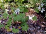 Geranium renardii, nätnäva