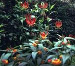 Gloriosa rotschildiana och Lantana camara