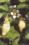 Att förnya jordgubbsplantorna är enkelt.
