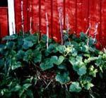 Frodiga gurkplantor i fjolårets kompost.