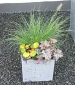 I den fjärde krukan är det den perenna växten Saxifraga stolonifera 'Harvest Moon' som lyser i vänstra, främre hörnet. Bredvid den Heuchera-hybriden 'Frosted Chocolade' och bakom dessa en stor planta av lampborstgräset, Pennisetum alopecuroides 'Hameln'.