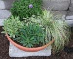 Den sista krukan hyser två sorters Euphorbia till vänster och Salvia officinalis 'Tricolor' i mitten.