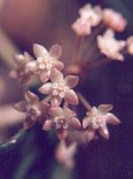 Hoya är det latinska namnet för det vi kallar Porslinsblomma.