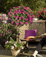 Hängpelargon, Pelargonium peltatum