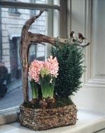 Rosa hyacinter i en vacker korg skapar stämning i advent.