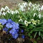 Galanthus nivalis tillsammans med Hepatica transsylvanica 'Blue Jewel' och Corydalis malkensis
