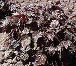 Heuchera micrantha 'Rachel', Alunrot