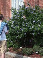 Hibiscus syriacus 'Blue Bird' i Gbg's Botan