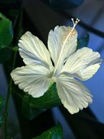 Hibiscus rosa-sinensis från Hawaii