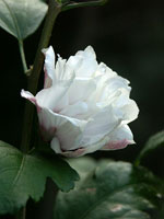 Hibiscus syriacus 'Lady Stanley' blomma