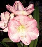 Hippeastrum 'Apple Blossom'