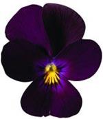 Hornviol 'Pure Violet'