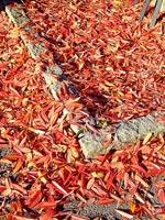 Höstens lysande matta
