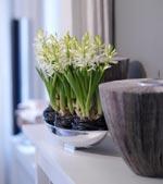 Hyacinter i metallskål