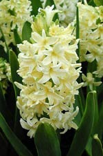 Hyacinthus orientalis 'City of Harlem'