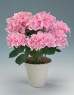 Hortensia, Hydrangea macrophylla