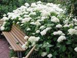 Hydrangea 'Annabella' växer så in i bänken