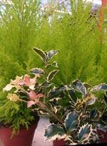 Ilex 'Argenteo-marginata' och Chamaecyparis 'Gold Crest'