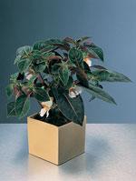 Impatiens velvetea 'Secret Love' har blommor som liknar små orkidéer.
