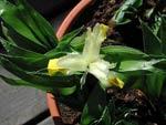 Iris bucharica gul junoiris