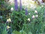 Iris 'Gracchus' flankeras av bl.a. lilablåa lupiner.