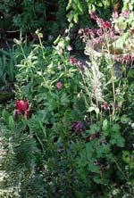 Mörkt rödlila iris tillsammans med 'Nora Barlow'- och 'Magpie'-aklejor i samma mörka färg.